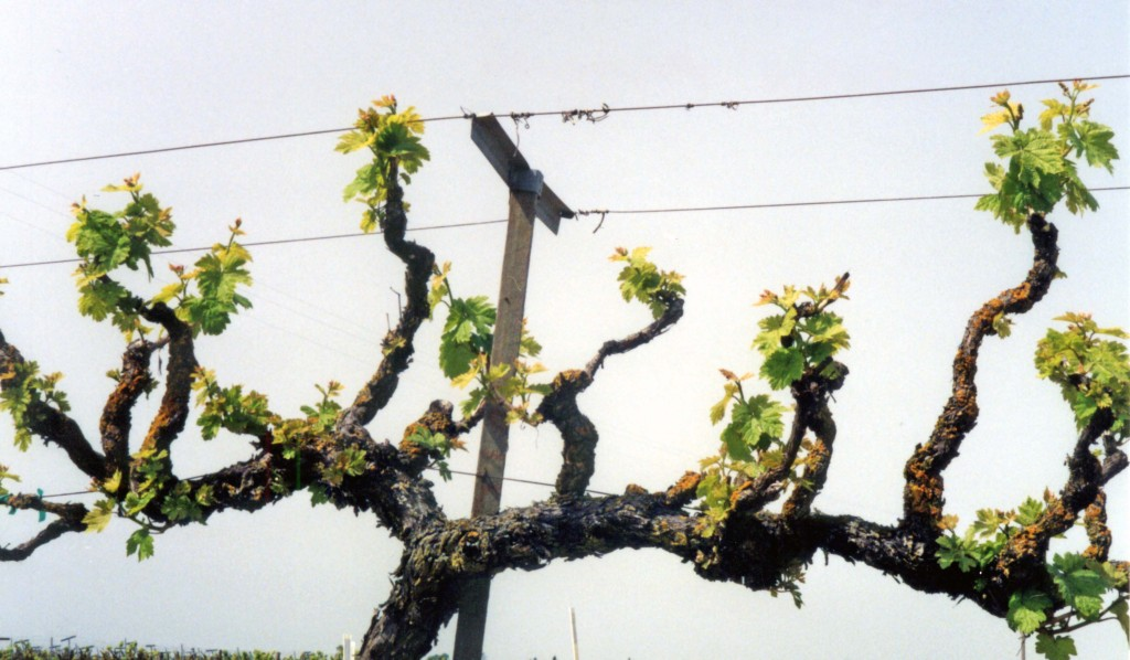 Plant pruning grapevines pictures to pin on pinterest pinsdaddy - How to prune and train the grapevine ...