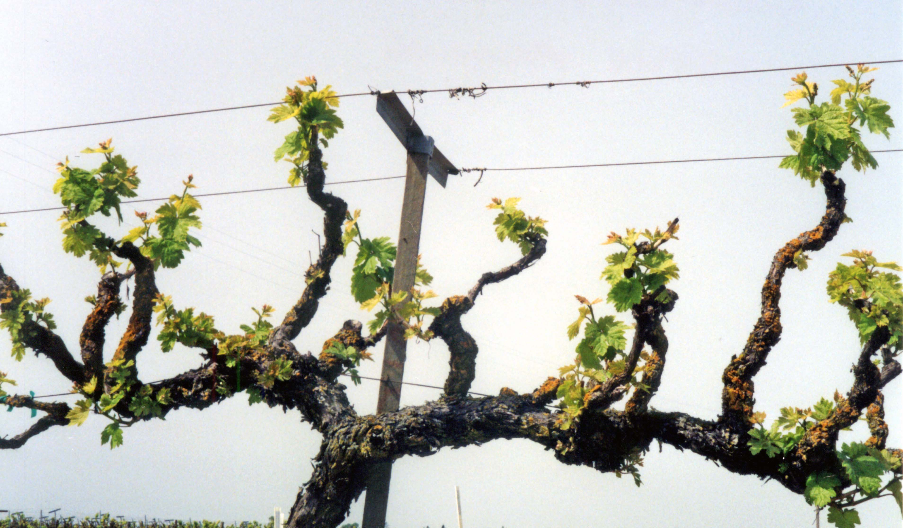 Optimized Pruning Using Spurs On Cordon Trained Grapevines Lodi