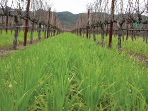 A winter barley cover crop was directly seeded to build up soil organic carbon.