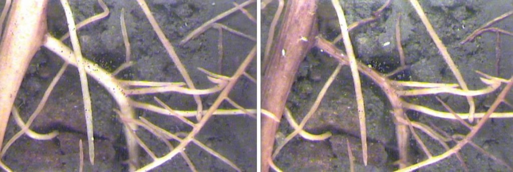 Figure 1: Minirhizotron images capture the maturation of grapevine roots over two weeks in July.