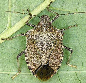 Brown Marmorated Stink Bug. Photo: UC IPM