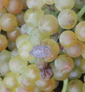 Brown Marmorated Stink Bug on Grapes in Maryland. Photo: University of Maryland Extension