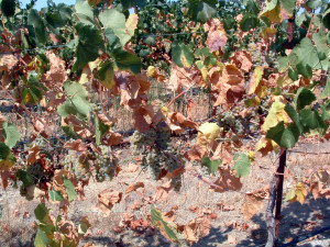 Figure 3: Extensive defoliation.  Photo:  Progressive Viticulture©