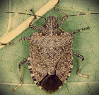 Brown Marmorated Stink Bug (BMSB): Characteristics, Spread, and Management