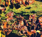 Economic Benefits from Certified Leafroll-free Grapevine Stock
