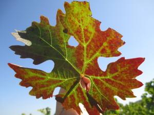 Leafroll Symptoms