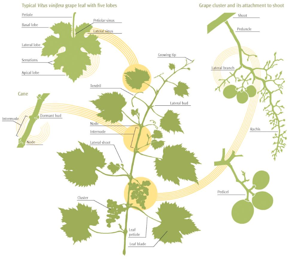 Figure 2.1: Main features of a grapevine shoot after fruit set.