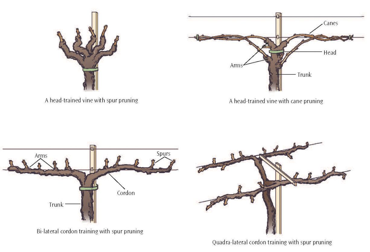 Important structures features of grapevines lodi growers grapevine structure pooptronica