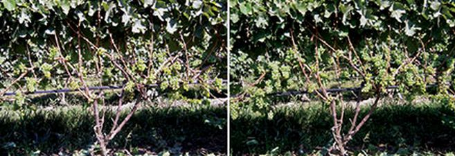 Leaves were pulled in order to photograph cluster thinning to one cluster per shoot (left) and two-plus clusters per shoot (right). No leaf pulling occurred on the actual vines studied. Copyright © Wines & Vines