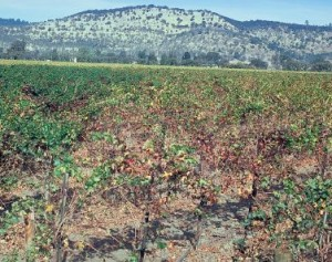 Figure 6.1: This ground-level photo (from the roof of a car) was taken in the direction of the arrow in figure 2.6. The boundary between green and yellow vines is much less striking than in the aerial photo. Photo: W.E. Wildman.