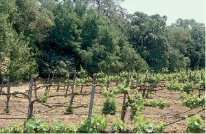 Figure 6.7: Ground-level photo of a vineyard near riparian area impacted by Pierce's disease, with the greatest vine damage occurring adjacent to the riparian zone. Photo: R.J. Smith.