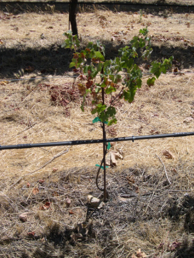 Water-stressed replanted vine
