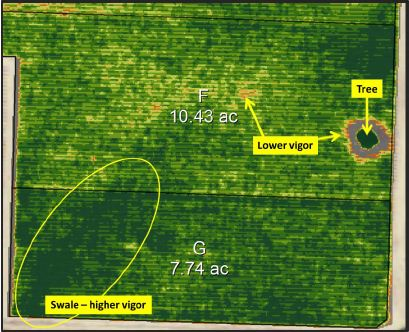 Figure 2: Normalized Difference Vegetative Index (NDVI) map of an existing vineyard shows areas of high vigor in dark green and those of progressively lower vigor in yellow, orange and red. A combination of deeper clay soil and the drainage pathway provided by highlighted swale are the likely reasons for higher vigor. Soil sensors should not be placed in these areas if the data is to be representative of the majority of the block.