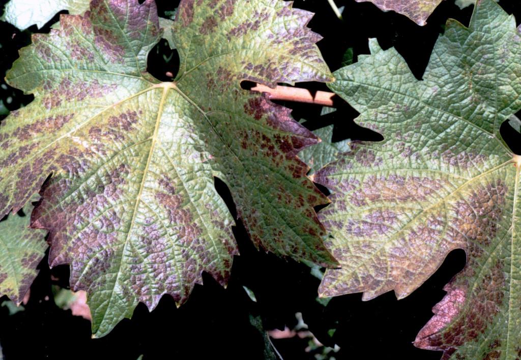 Figure 4:  Grapevine leaves displaying high temperature plus high UV radiation damage.  Photo:  Progressive Viticulture©