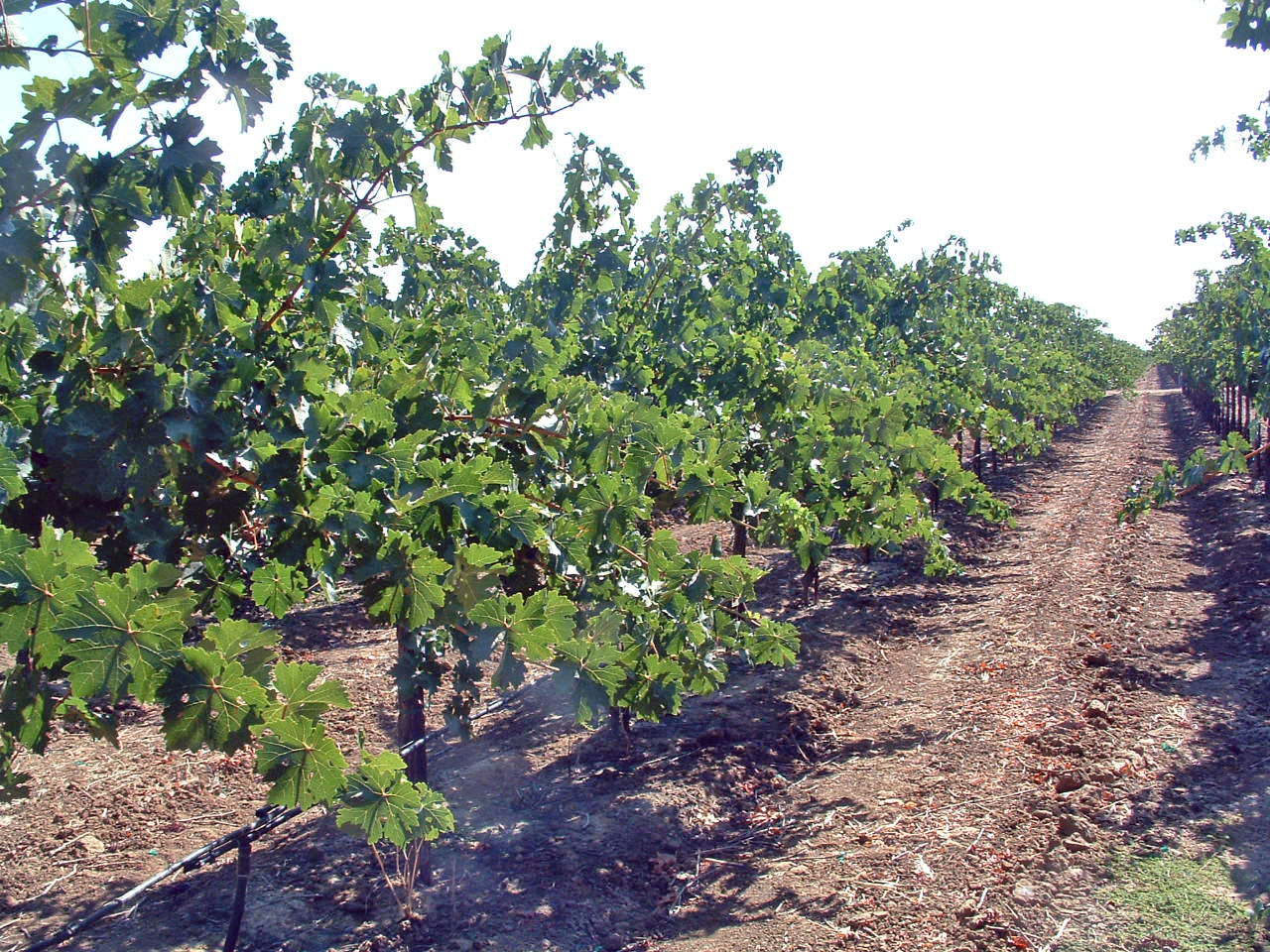 Figure. 1.  Complete canopy development with arrested shoot growth.  Photo:  Progressive Viticulture©