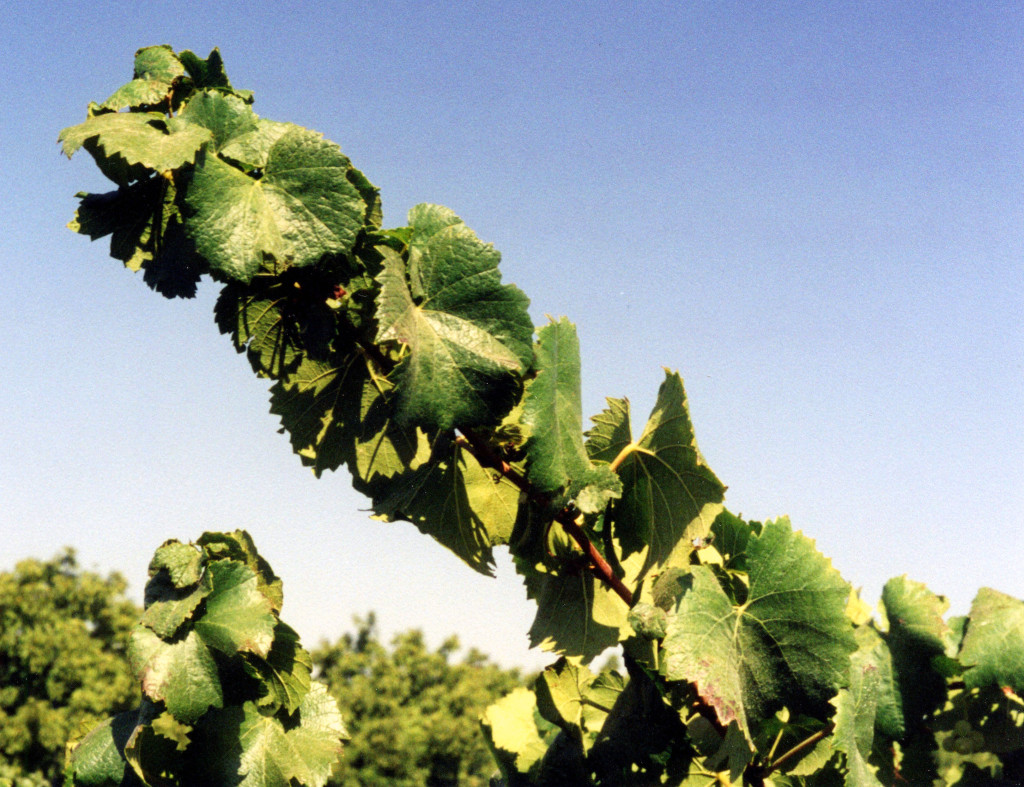 Figure 4:  Mid season healthy grapevine foliage maintained under moderate water stress.  Photo:  Progressive Viticulture©