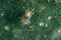 Pacifc Spider mite