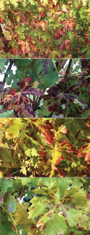 Photo 3: Red Blotch symptoms in different vines in November 2013.