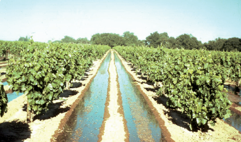 Figure 5.3  Furrow irrigation showing uniform wetting