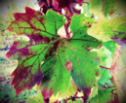 Red Blotch Disease and the Virus Status of CDFA-certified Grapevine Stock