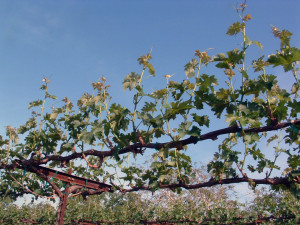 Figure 2: Early season shoot thinning controls vine water use.  (Photo source:  Progressive Viticulture©)