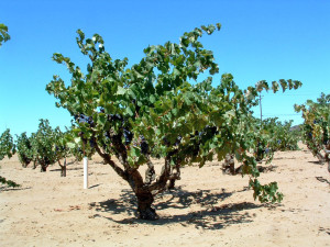 Figure 3: A well balanced and well managed dry farmed grapevine during the ripening period.  (Photo source:  Progressive Viticulture©)