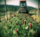 Cover Cropping Systems for Organically Farmed Vineyards
