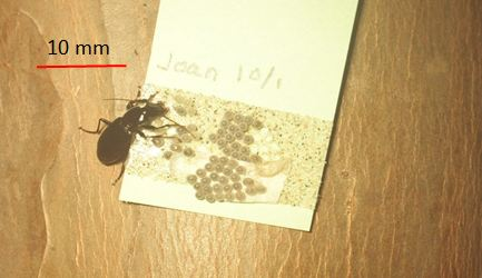 Fig. 2. Predacious ground beetle, Laemostenus  complanatus feeding on eggs of BMSB. Night time imaging, Sacramento, CA