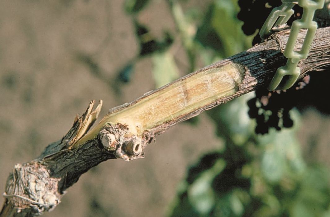 Fig 23.4:Verticillium-affected canes exhibit vascular streaking. Photo: W.J. Moller.