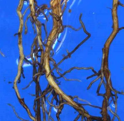 Fine branching roots explore soil, improving water and nutrient uptake.