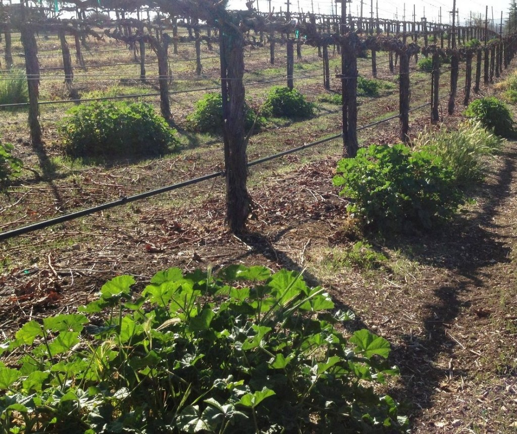 Weeds under the drip line compete with grapevine roots for water and nutrients.