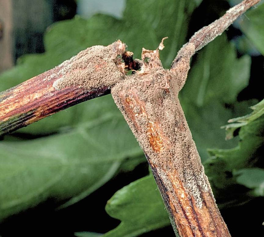 Figure 13.1 Rotting of young tissue characteristic of Botrytis shoot blight. Photo: J. K. Clark.