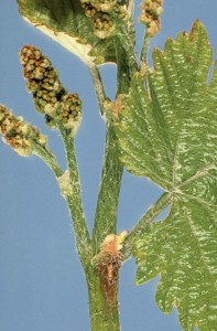 Figure 13.3 Botrytis lesion at node of young shoot in spring. Photo: J. Hall.