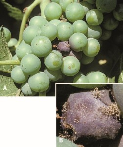 Figure 13.8 Single infected berry and epidermis split on Riesling cluster (A); sporulation on infected berry (B). Photos: L. J. Bettiga.