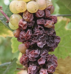 Figure 13.10 Raisining caused late in the season from Botrytis infection on Riesling. Photo: L. J. Bettiga.