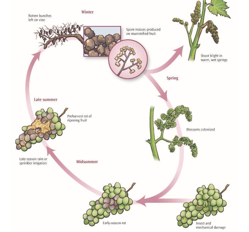 Figure 13.12 Botrytis bunch rot disease cycle.