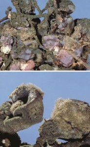 Figure 13.13 Overwintering Botrytis on mummies (A); spore production on mummies in early spring (B). Photos: J. K. Clark.