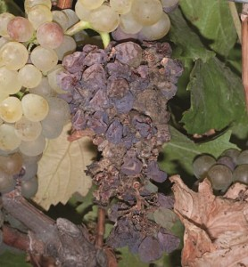 Figure 13.15 Warm, dry weather at harvest can desiccate Botrytis-infected berries. Photo: L. J. Bettiga.