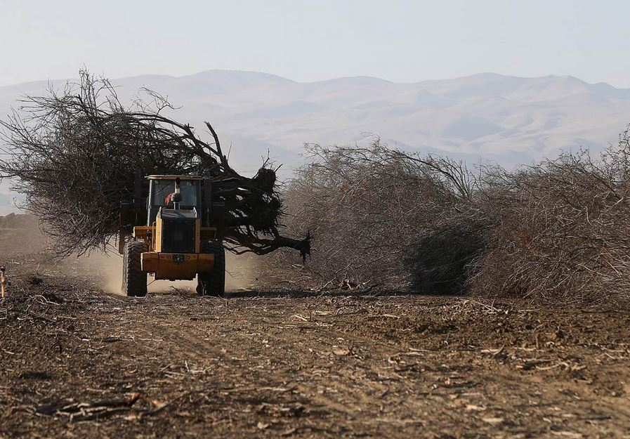 A front loader moves an uprooted almond tree at Baker Farming on February 25, 2014 in Firebaugh, California. Justin Sullivan / Getty Images