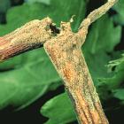 Bunch Rot Part I: Botrytis cinerea