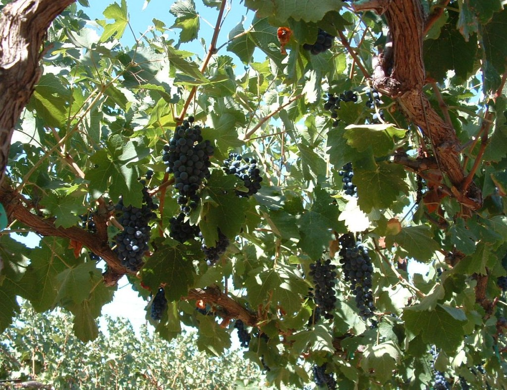 Fig. 5.  The underside of a well exposed grapevine canopy. Photo: Progressive Viticulture, LLC ©