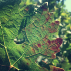 Financial Assistance Available for Red Blotch Infected Vines