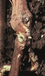 Figure 7.6: Phytophthora cinnamomi decomposes the cambium of the root crown, resulting in a dark brown layer of dead tissue beneath the bark, as shown on the thick root in the foreground. Culture attempts from the margin of a lesion often yield the saprophytic secondary fungi that follow P. cinnamomi infection, primarily because the pathogen is quickly replaced by these ubiquitous soilborne fungi. To guard against detection of secondary fungi instead of the primary pathogen, request that only the margins of lesions are plated and that cultures obtained from the roots, root crown, and soil are compared before a diagnosis is made. Photo: K. Baumgartner.