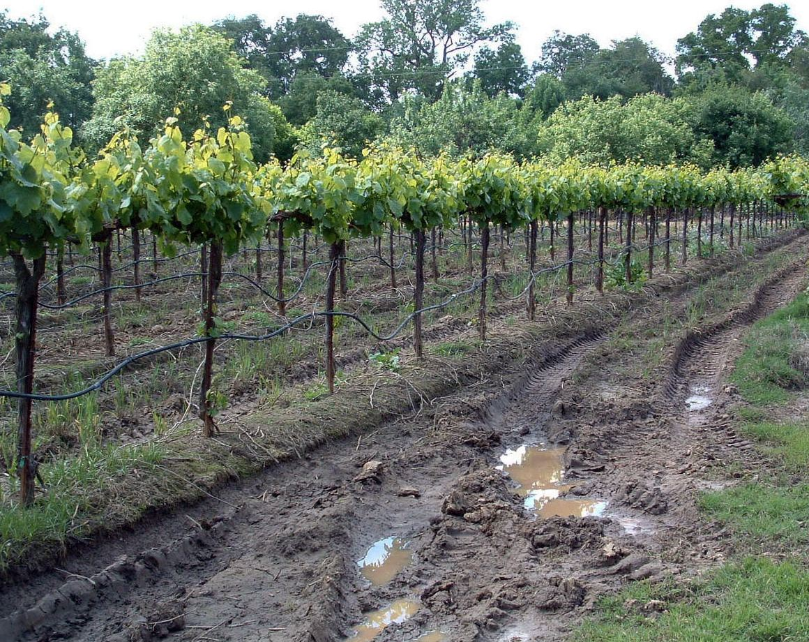 Fig. 2. Surface soil compacted under traffic while wet. Source: Progressive Viticulture, LLC ©