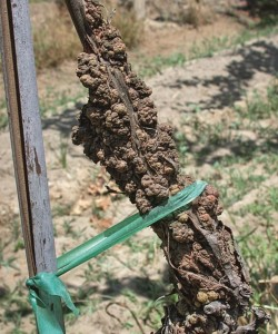 Figure 7.2: A diagnostic symptom of crown gall is the abnormal tumorlike gall that sometimes forms on the vine trunk and canes in response to infection by the pathogen Agrobacterium vitis. Photo: S. J. Vasquez.