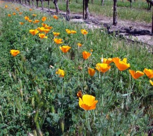 Fig. 3.  A clover cover crop that includes barley, brome, and poppies. Source: Progressive Viticulture, LLC ©