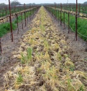 Fig. 4.  Early incorporation of a grass cover crop. Source: Progressive Viticulture, LLC ©