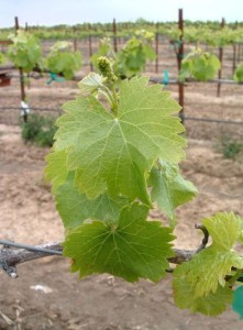 Fig. 2.  Early season growth in need of nitrogen. Source: Progressive Viticulture, LLC ©