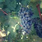 In the Vineyard with Paul Verdegaal