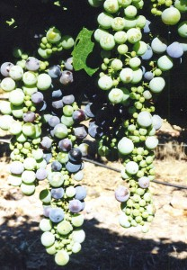 Poor fruit set and undersized, oblate berry symptoms of boron deficiency in Zinfandel.
